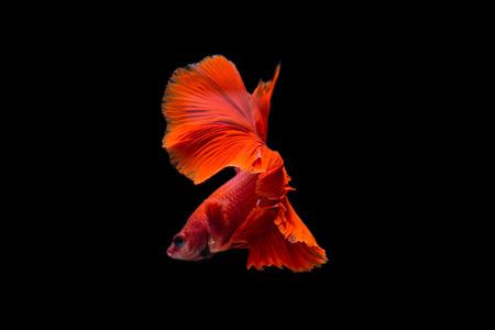 물고기 Betta