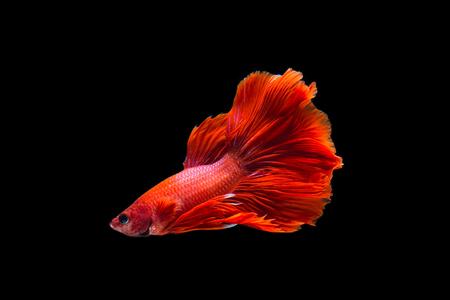 Betta Fisch Standard-Bild - 88151544