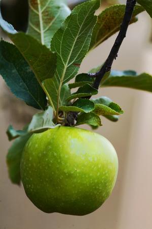 r image: manzana verde y hojas en un �rbol Foto de archivo