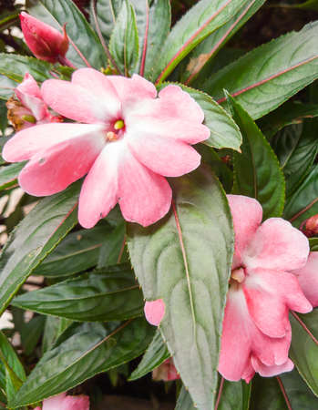 New Guinea Impatiens that contain the pink petal and red midrib in leaf. They was planted in the garden at Doi Tung royal villa that is located in Chiang Rai province in the northern of Thailand. Stock Photo