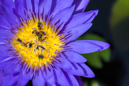 interdependence: Top and close-up view of many bees that are swarming over yellow pollen of the beautiful purple lotus. Complementary color. Stock Photo