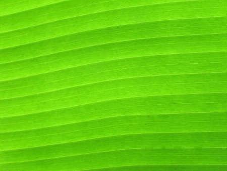 green line: Banana leaf