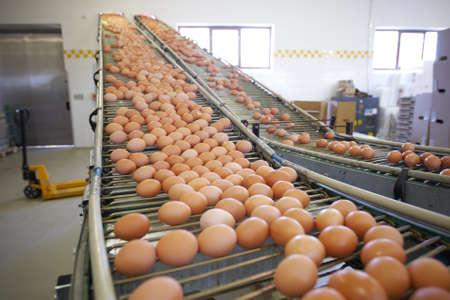 control de calidad: Huevos en movimiento en la l�nea de producci�n