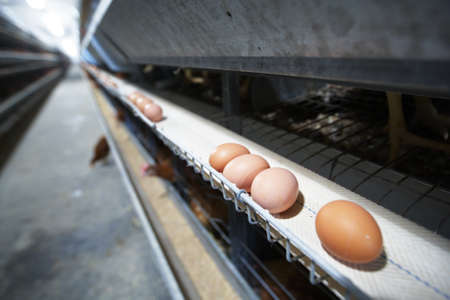 Eggs moving on the production line photo