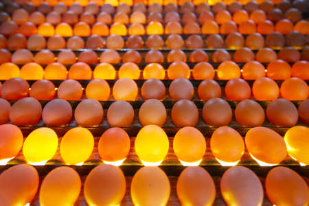 line up: Eggs in lighting control quality in egg factory