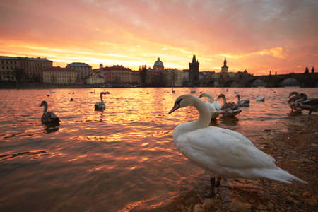 Group of swans on Vltava River in Prague photo