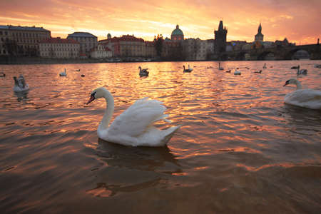 Group of swans on Vltava River in Prague Stock Photo - 17170101