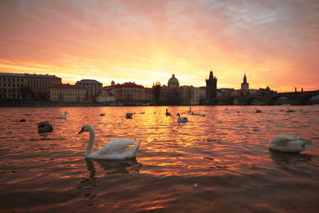 Group of swans on Vltava River in Prague Stock Photo - 17170154