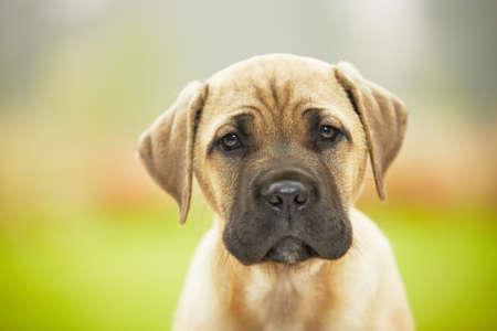 closeup puppy: Brown cane corso dog puppy Stock Photo