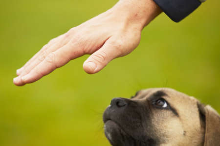 Man is training cane corso dog puppy Stock Photo - 17170081
