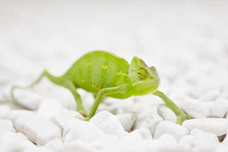 somnolent: Yemen Chameleon is walking on white stones  Stock Photo