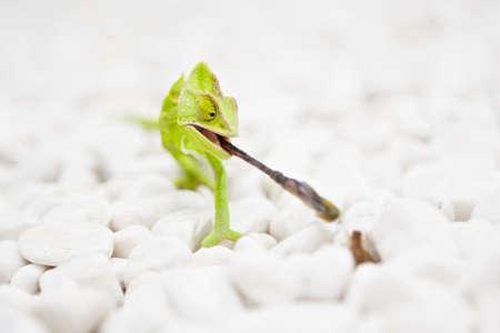 Yemen Chameleon is hunting on the white stones Stock Photo - 17170036