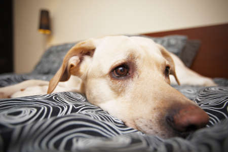 bedding indoors: Labrador is lying on bed in home