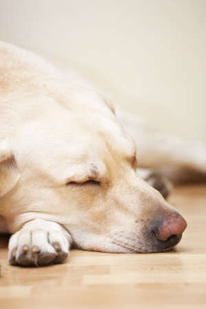 Bright labrador is sleeping on floor  photo