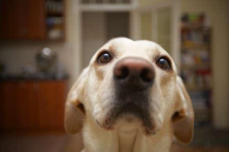 perro labrador: Labrador retriever est� planteando en casa