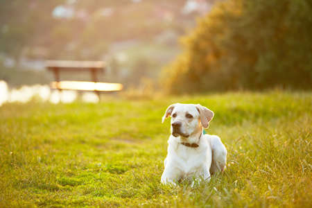 Labrador retriever in park at the sunrise photo