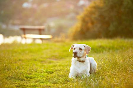 Labrador retriever in park at the sunrise Stock Photo - 17209612