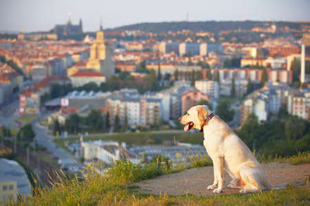 Labrador retriever at the sunrise  Stock Photo - 17209609