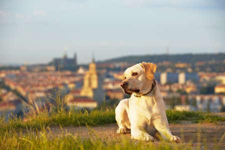 Labrador retriever at the sunrise Stock Photo - 17209615