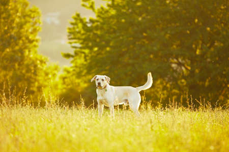 Labrador retriever in park at the sunrise Stock Photo - 17209614