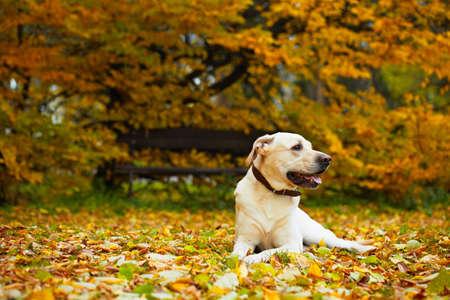 dog park: Yellow labrador retriever in autumn park