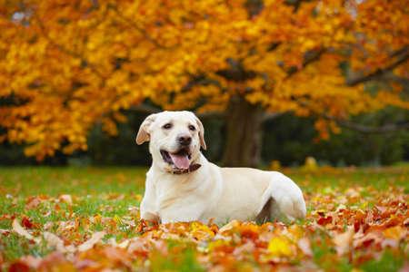 perro labrador: Labrador retriever amarillo en el otoño de parque Foto de archivo