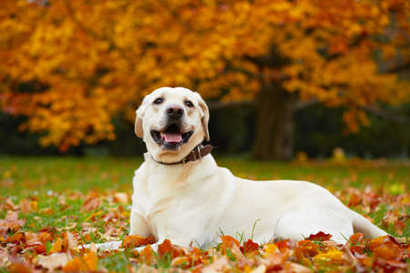 dry leaves: Yellow labrador retriever in autumn park