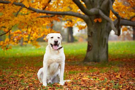 labrador retriever: Yellow labrador retriever in autumn park