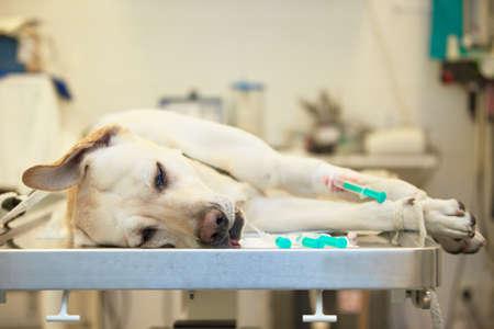 sick room: Ill labrador retriever in veterinary clinic. Stock Photo