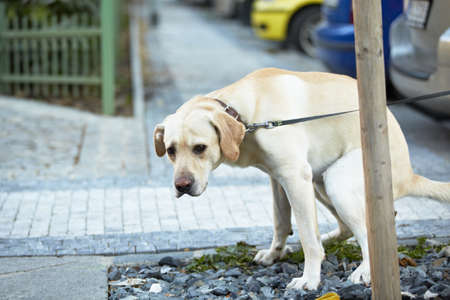 feces: Labrador retriever pooing with sad eyes