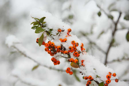 Rowanberry in winter - selective focus photo