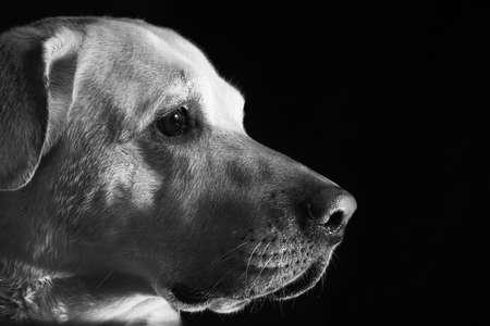 obediencia: Labrador retriever delante del fondo negro Foto de archivo