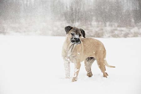 Brown cane corso dog puppy in winter landscape photo