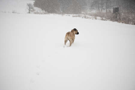 Brown cane corso dog puppy in winter landscape photo