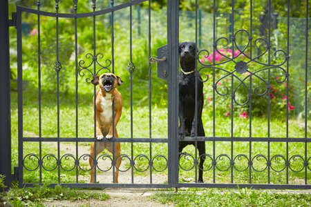 Two dogs behind metal fence   photo