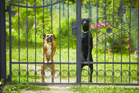beware: Two dogs behind metal fence