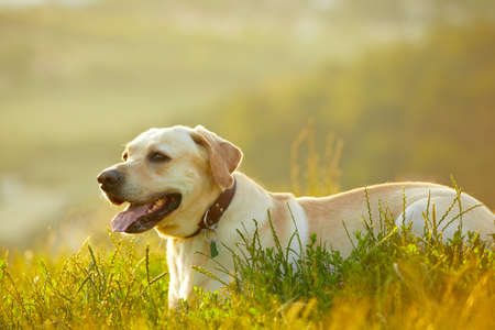 Labrador retriever at the sunrise photo
