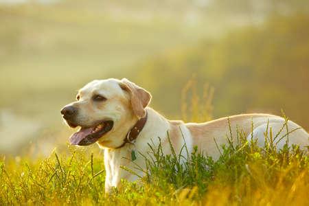 labrador retriever: Labrador retriever en la salida del sol Foto de archivo