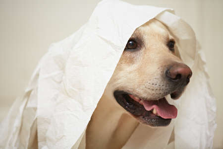 mischief: Labrador retriever is playing with toilet paper