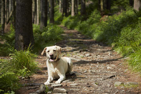 Yellow labrador retriever is waiting in deep forest  photo