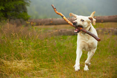 Yellow labrador retriever on field  Stock Photo