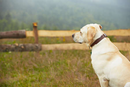 guard dog: Yellow labrador retriever is waiting on field