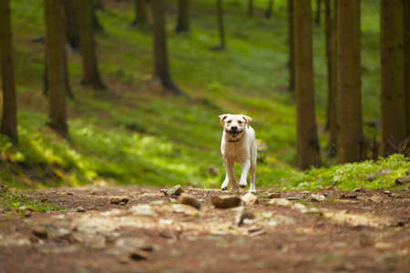 Yellow labrador retriever is running in the forest