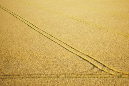 Wheat field, Summer in the Czech Republic  photo