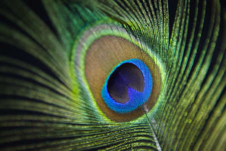 Detail of a peacock feather. Peacock is symbol of pride. Stock Photo - 18948484