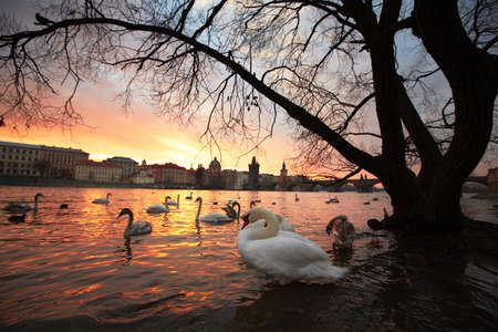 Group of swans on Vltava River in Prague - selective focus Stock Photo - 19198071