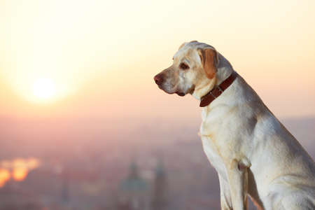 Yellow labrador retriever is looking at the sunrise photo