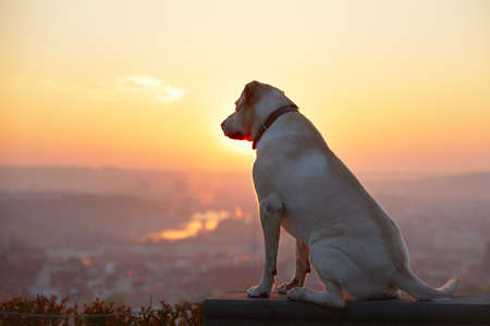 Yellow labrador retriever is looking at the sunrise