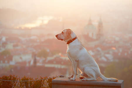 prague: Yellow labrador retriever is looking at the sunrise