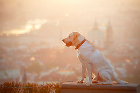 lost city: Yellow labrador retriever is looking at the sunrise